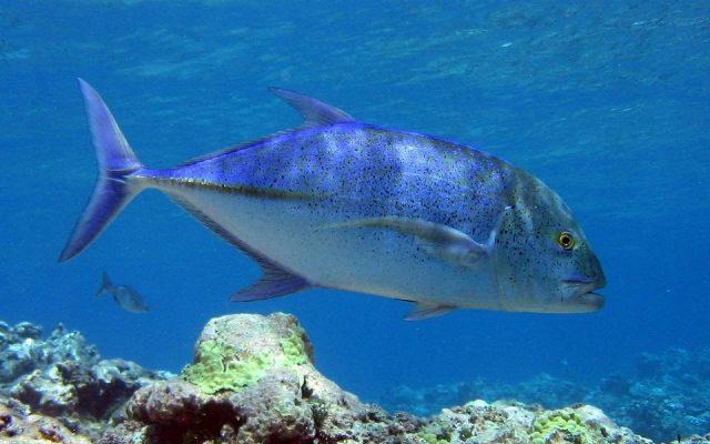 bluefin-trevally-917162_1280